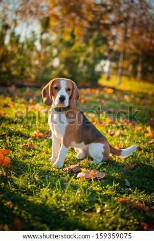 dog on the street. Autumn, the beagle, flowers - stock photo