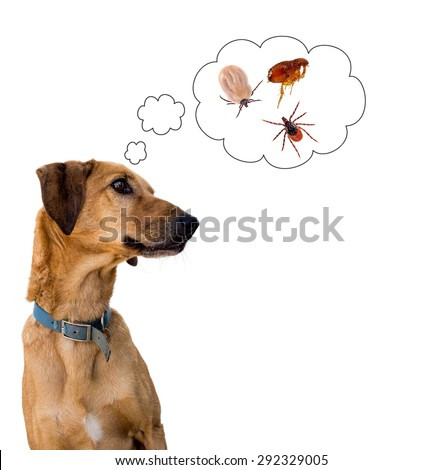 Dog on white considering the problem of tick insects and fleas. Pet care etc. - stock photo