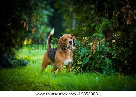 dog outdoors. beagle - stock photo