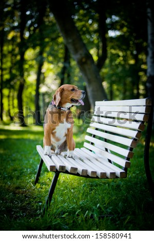 dog outdoors. beagle