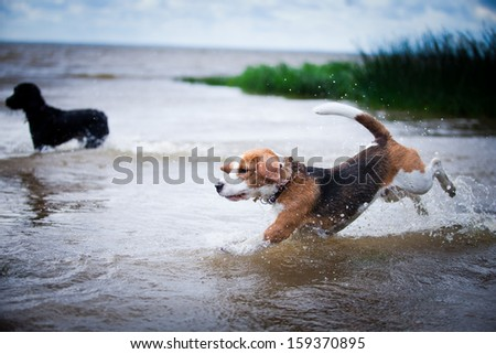 dog outdoors. Beagle. - stock photo