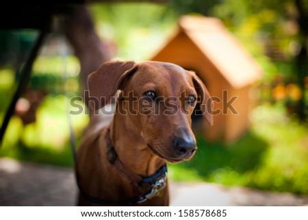 dog outdoors. pinscher - stock photo