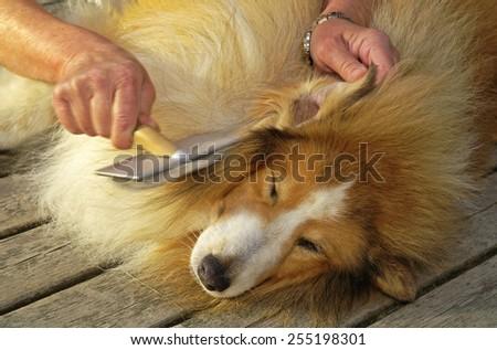 Dog owner cares for her Shetland sheepdog - stock photo