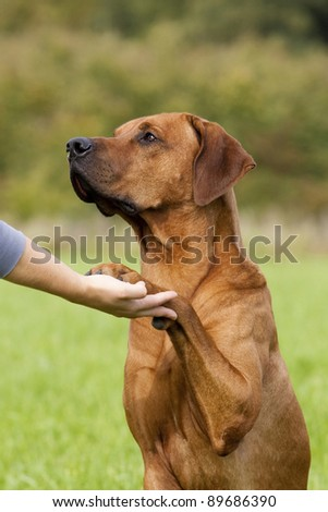 dog paw and human hand shaking as a sign for  friedship - stock photo