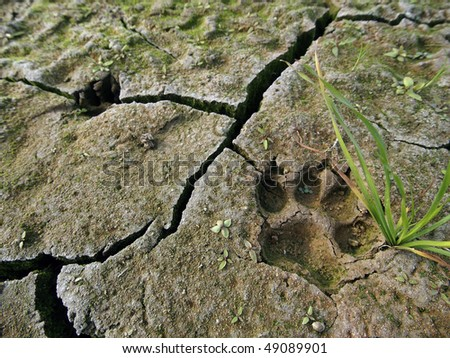 dog paw footprint close up in cracked dry ground - stock photo