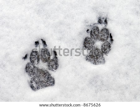 Dog paw prints in fresh snow.