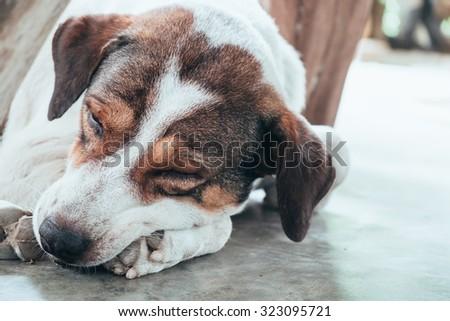 Dog pet big face wrinkle white body brown eye sleeping - stock photo