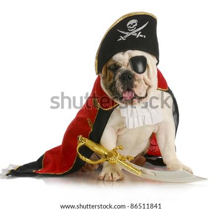 dog pirate - english bulldog dressed up like a pirate on white background - stock photo