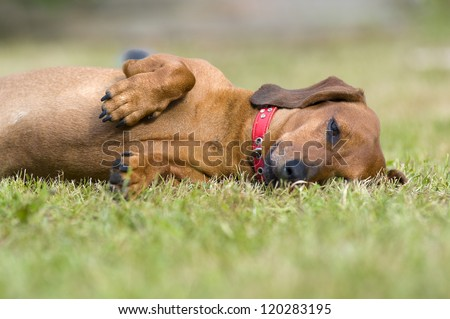 Dog played enough to sleep - stock photo