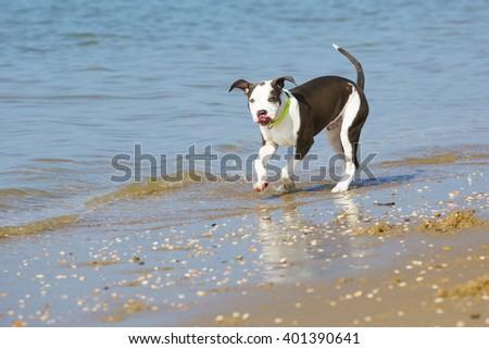 Dog playing and walking at the dutch beach sea kijkduin scheveningen - stock photo