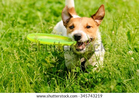 Dog playing at green grass with flying disk - stock photo