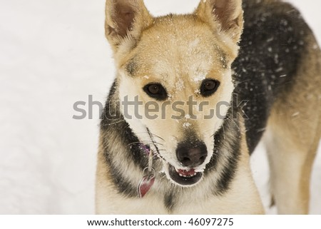 Dog playing in the midst of a snowstorm
