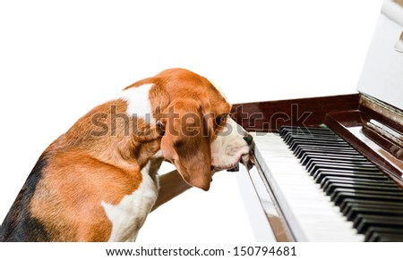 Dog playing the piano,isolated on a white background. - stock photo