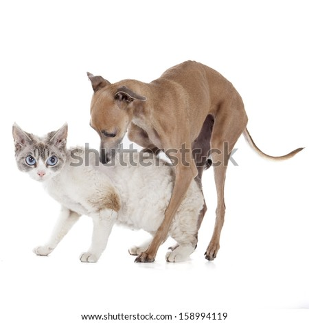 dog playing with a cat on a white background in studio - stock photo