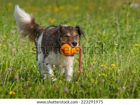 Dog playing with an orange ball - stock photo