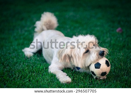 Dog playing with bis ball  - stock photo