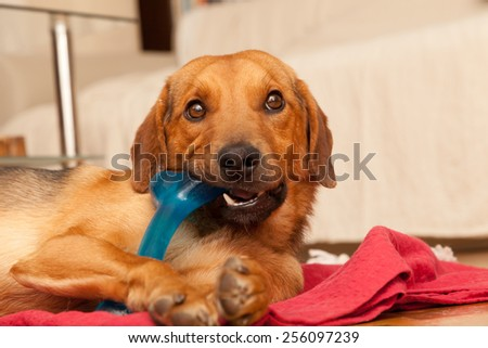dog playing with bone - stock photo