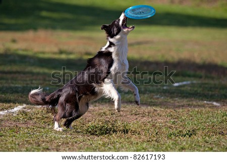 Dog playing with flying saucer - stock photo