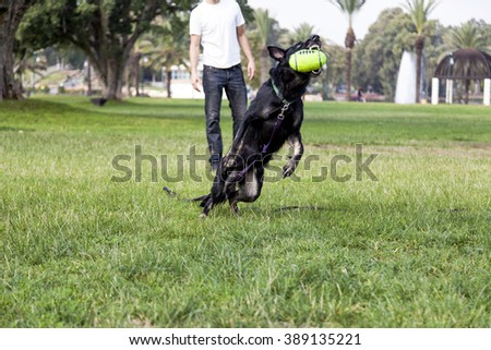 Dog playing with his owner and a football shaped toy in the park - stock photo