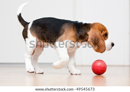 Dog playing with red ball. Beagle puppy - stock photo