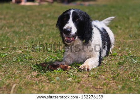 Dog playing with the stick - stock photo