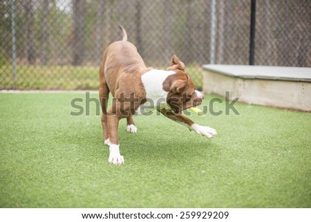 Dog plays with frisbee outside - stock photo