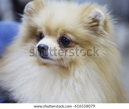 Dog Pomeranian cream color  The Pomeranian is a small dog (height not exceeding 23 cm) sturdy build, with a short muzzle, voluminous chest and small ears. This is a great companion.