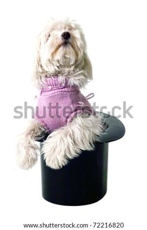 Dog Poodle in cylinder, magic black hat - stock photo