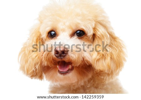 Dog poodle isolated on white background