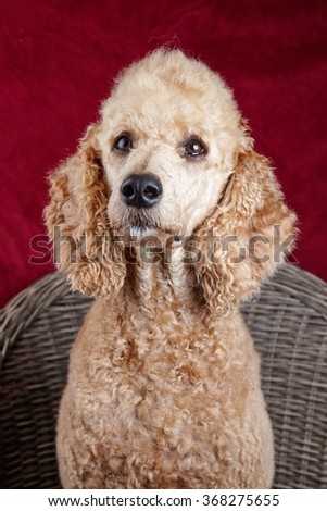 Dog portrait in the studio. Beautiful standard poodle sitting on a wooden chair with a red backdrop.