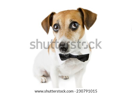 Dog portrait looks up with a tie. White background. Studio shot - stock photo