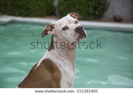 Dog posing poolside - stock photo
