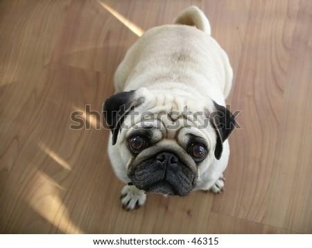 Dog (pug) looking up at the camera. - stock photo