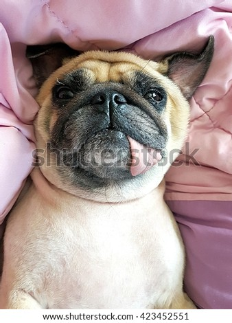 Dog pug puppy lying upside-down on her back on the bed with blanket patchwork quilt and tongue sticking out - stock photo