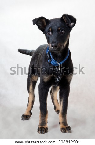 Dog puppy black color with red eyebrows