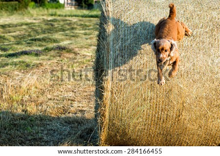 Dog puppy cocker spaniel jumping from wheat mature field and looking at you - stock photo