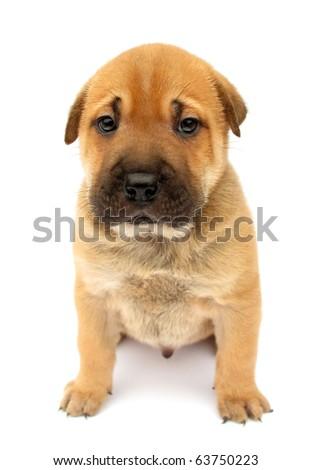 Dog puppy cute sad isolated on white background - stock photo