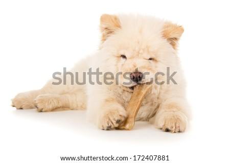 Dog, puppy eating a bone - stock photo