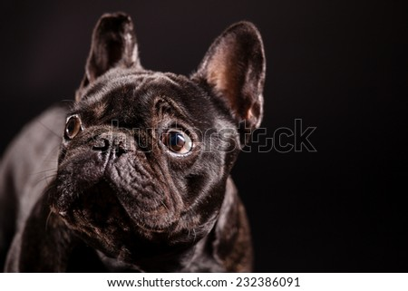 dog puppy french bulldog on a dark background - stock photo