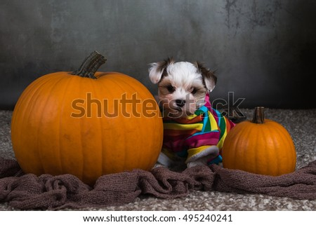 dog puppy havanese with pumpkin