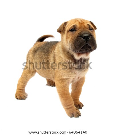 Dog puppy isolated on white background