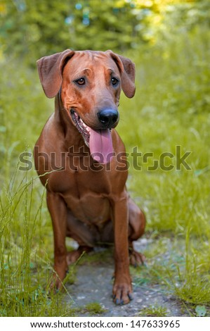 Dog puppy rhodesian ridgeback in autumn forest