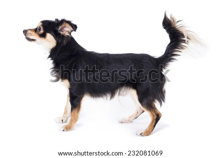 Dog ready to attack - stock photo