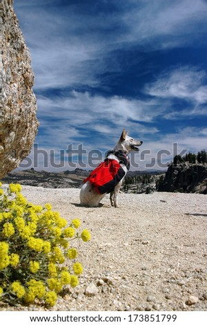 Dog, Red Heeler Cattle Dog with red backpack against Summer sky.