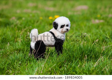 dog repainted on panda.  groomed dog. pet grooming. - stock photo