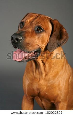 Dog Rhodesian Ridgeback in a rack - stock photo
