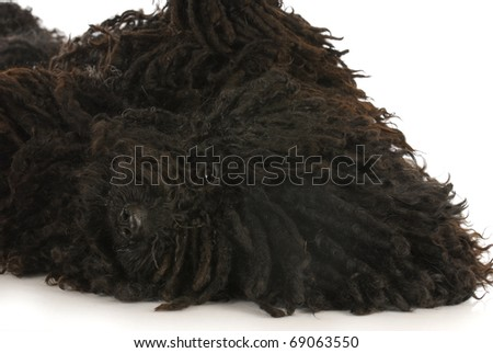 dog roll over - corded puli laying on back looking at viewer - hungarian herding dog - stock photo
