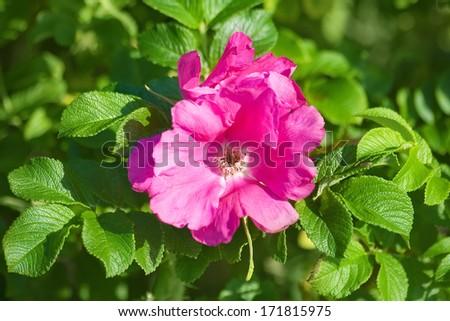 Dog rose - stock photo
