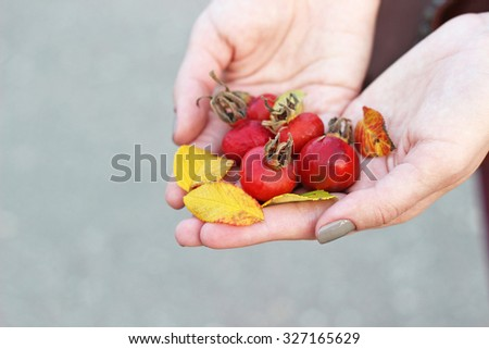 dog rose berries in female hands