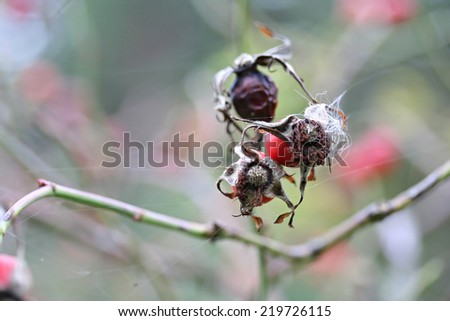 Dog rose berries  in garden, spider web - stock photo